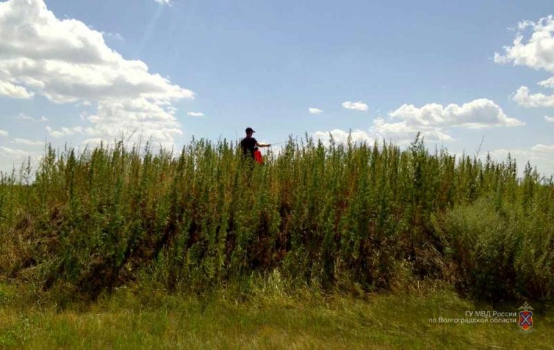 ВМихайловке уничтожили 17 тыс. кустов конопли