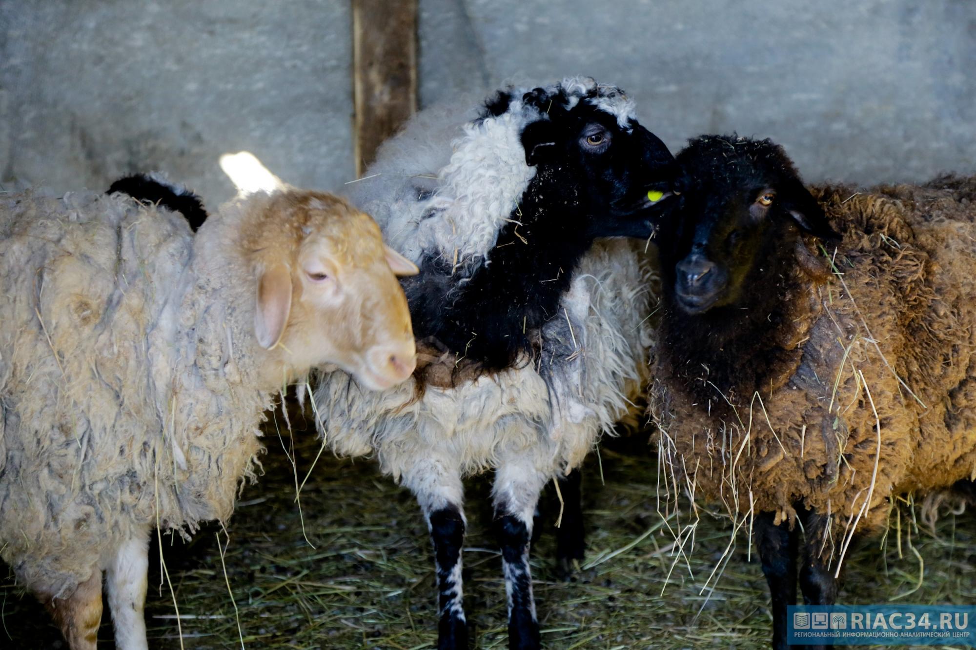 Под Волгоградом фермер подстрелил 14 овец соседа