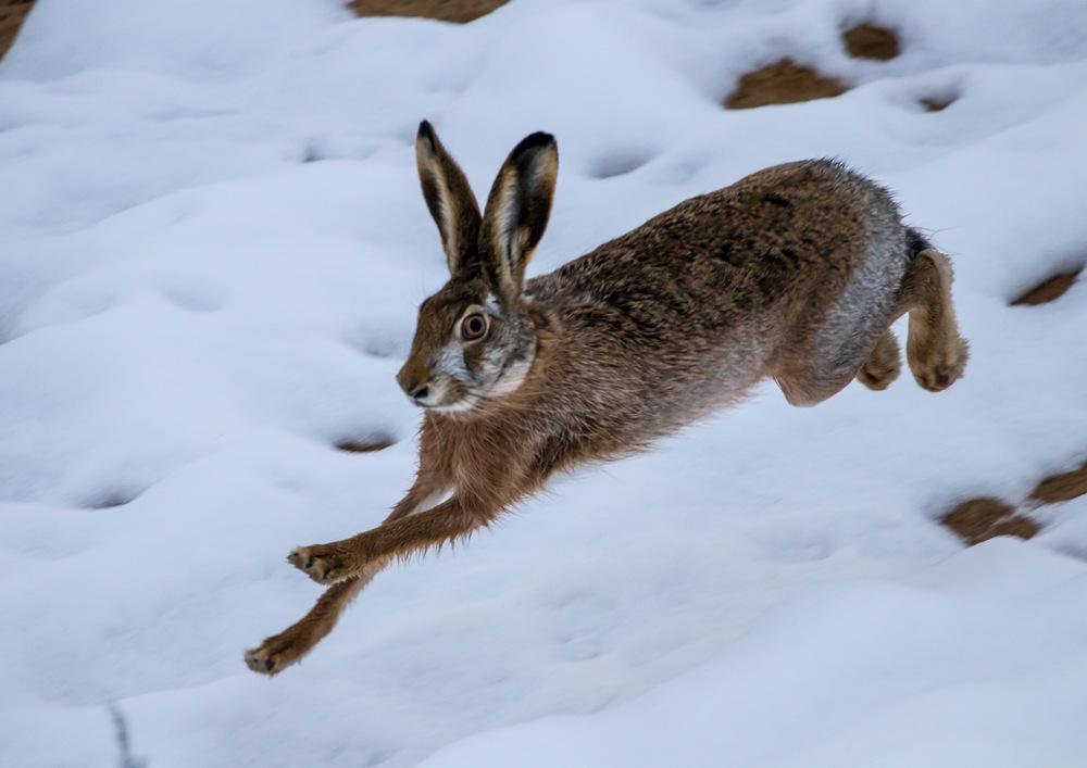 Картинки зайца-русака зимой