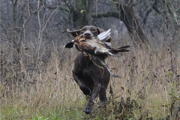До3декабря вВолгоградской области разрешили охотиться нафазанов