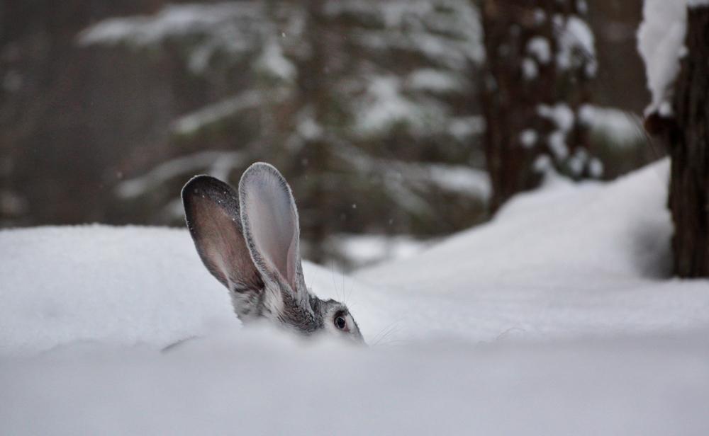 На этой неделе в регионе закрывается охота на зайца-русака