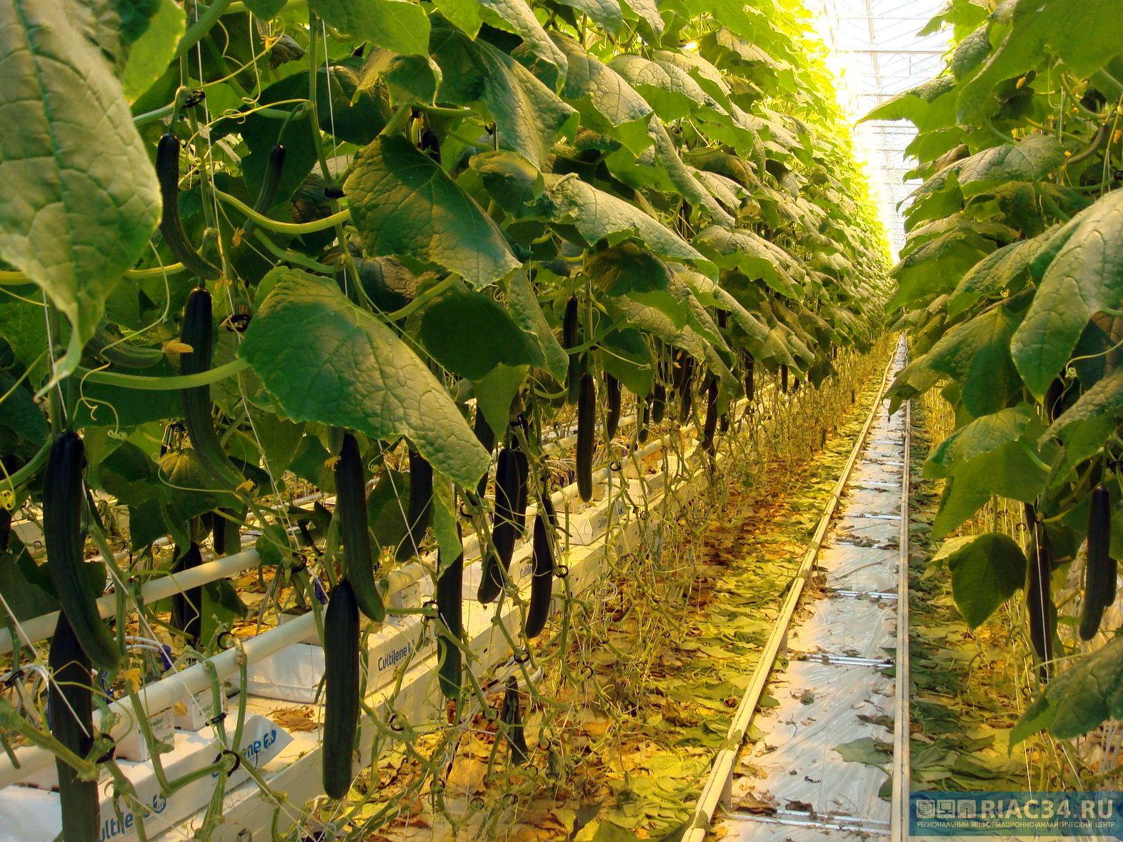 Волгоградских овощеводов побуждают войти в законное русло