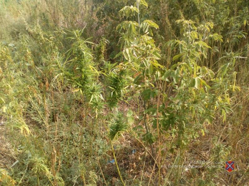 Волгоград конопля выращивание марихуаны на подоконнике