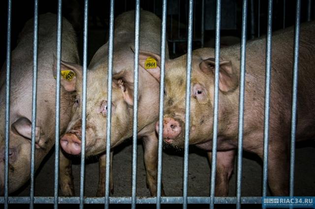 В Суровикинском районе выявлен новый очаг опасного для свиней вируса