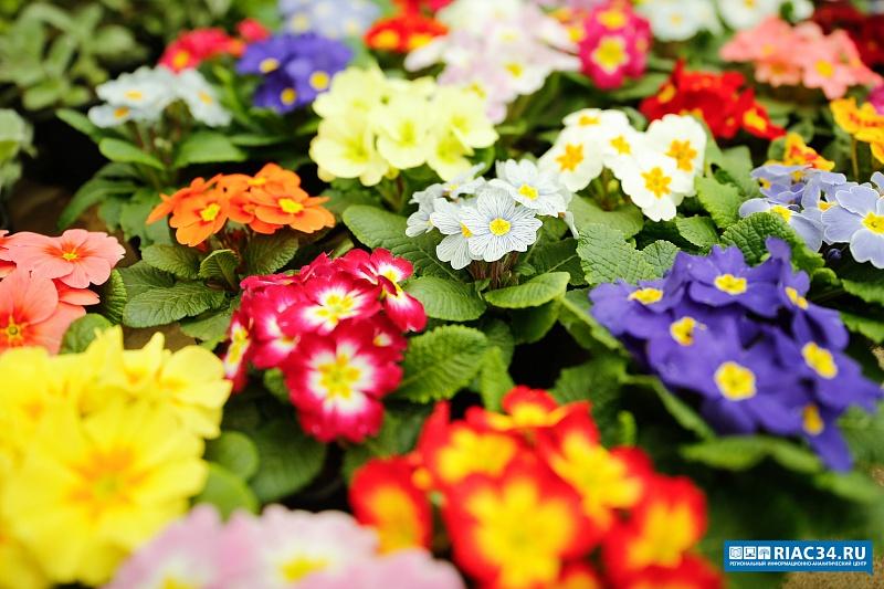 В волгоградском ботаническом саду зацвели 10 тысяч примул